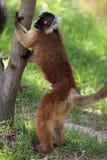 Black lemur. The black lemur holding the trunk Stock Photography