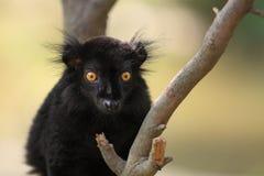 Black lemur. The detail of black lemur sitting on the tree Stock Photos
