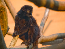Black Lemur. (Eulemur macaco Royalty Free Stock Photos