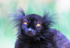 Black lemur. Eulemur macaco macaco - small primate living in Madagascar Stock Images