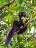 Black Lemur eating mango. Close up portrait of black Lemur eating mango on Lokobe Strict Nature Reserve in Nosy Be, Madagascar, Africa Stock Photos
