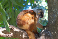 Black lemur (Eulemur macaco) Stock Photography