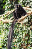 Black lemur (Eulemur macaco) Royalty Free Stock Images
