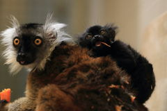 Black lemur Royalty Free Stock Photography