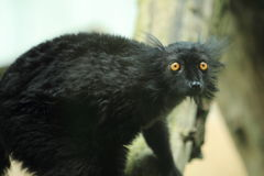 Black lemur Royalty Free Stock Photo