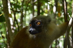 Black Lemur at Lokobe Forest, Nosy Be, Madagascar. The black lemur Eulemur macaco is a species of lemur from the family Lemuridae. Like all lemurs, it is endemic Royalty Free Stock Photos