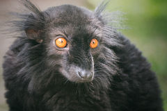 Black lemur of Madagascar (Eulemur macaco) Royalty Free Stock Photography