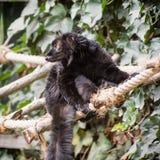 Black lemur on the rope. Watchful Black lemur (Eulemur macaco) on the rope. Animal theme Royalty Free Stock Images