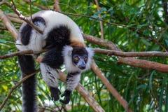 black lemur ruffed white στοκ εικόνες