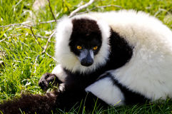 black lemur ruffed white Στοκ Εικόνες