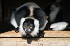 black lemur ruffed white Στοκ Φωτογραφίες