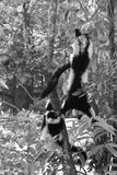 Black & While Lemurs. Photo of Lemurs taken while playing on a tree in the zoo Stock Image