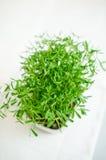 Black lentil seedlings Stock Image