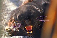Black leopard Stock Images