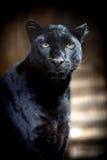 Black leopard. Beautiful black panther on dark bacground Royalty Free Stock Photo