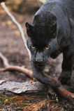 Black leopard stock image