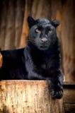 Black leopard. Portrait of Black leopard on fresh air Stock Photos