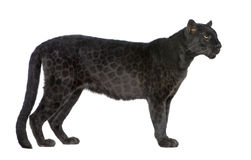 Black Leopard (6 years) Stock Images