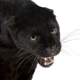 Black Leopard (6 years) Royalty Free Stock Photography