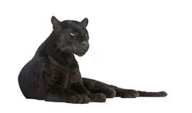 Black Leopard (6 years) stock photography