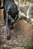 Black leopard Stock Photos