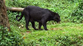 Black leopard or black panther waiking around. On grass stock video