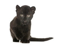 Black Leopard cub approaching, 3 weeks old Stock Photos