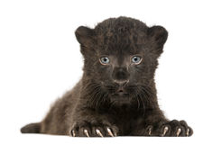 Black Leopard cub facing and lying down, 3 weeks old. Isolated on white Royalty Free Stock Photography
