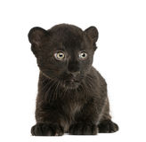 Black Leopard cub kneeling, 3 weeks old. Isolated on white Stock Photography