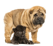 Black Leopard cub lying down under a Shar pei puppy standing Royalty Free Stock Images