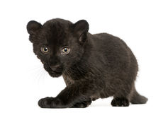 Black Leopard cub, 3 weeks old, staring and prowling. Isolated on white Stock Photos