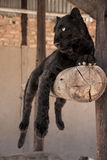 Black leopard. Cute and adorable leopard cub Stock Photography