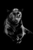 Black leopard on dark background Royalty Free Stock Images