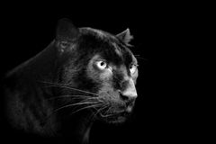 Black leopard on dark background Royalty Free Stock Photos