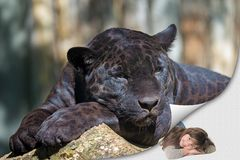 The black leopard lying on the tree trunk and little girl stock images
