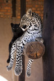 Black leopard and spottet leopard Stock Photography