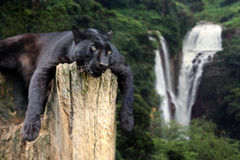 Black leopard on waterfall background Royalty Free Stock Image
