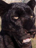 Black leopard with yellow eyes Stock Photos