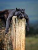 Black leopard Royalty Free Stock Image