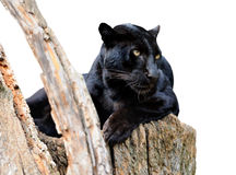 Black leoparden Royaltyfria Foton
