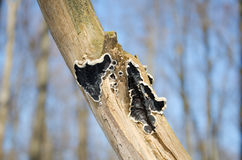 Black lichen on a dry branch. Stock Photo