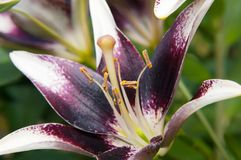 Black lily royalty free stock photography