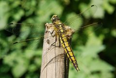 Black-lined Skimmer Royalty Free Stock Photo