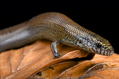 Black-lined skink (Amphiglossus macrocercus) Stock Photography