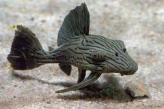 Black lined sucker mouth catfish Stock Photo