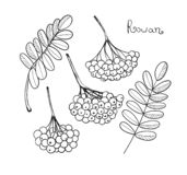 Black liner set Rowan Tree. Isolated elements of rowanberry or ashberry. Sketch leaves and cluster of Sorbus berry. Brunch of sorb royalty free illustration