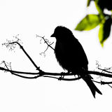 Black Linnet bird on branch siluette Royalty Free Stock Image