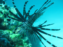 Black Lion Fish. Stretching out met when diving at Racha Island, Phuket, Thailand Royalty Free Stock Images
