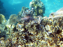 Black lion's fish in the red sea Royalty Free Stock Images