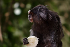 Black Lion Tamarin Stock Photography